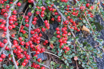 Fresh and red color of pink peppercorn plant in the garden, a dried berry of the shrub Schinus molle, commonly known as the Peruvian peppertree