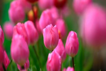 満開の早咲きチューリンプ