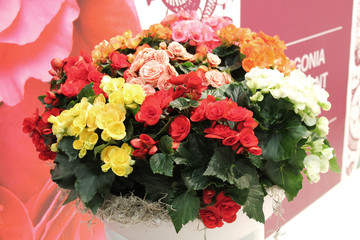 bouquet of begonia