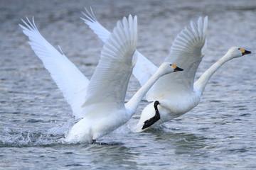 Poster Cygne 助走する白鳥 Swans take off