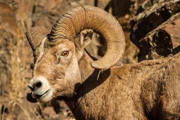 Ram Warrior