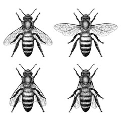Honey Bee Illustration with 4 different wing positions
