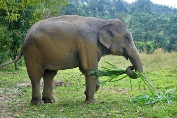 Eating happy elephant in Thailand on a farm