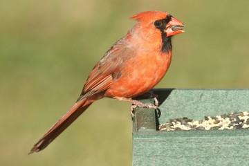 Fotoväggar - Male Northern Cardinal (cardinalis) on a Feeder