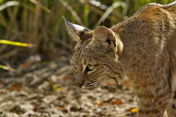 Alert bobcat stalks prey with patient stealth