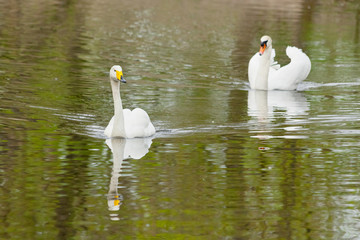Two swans swimming toward you each after another
