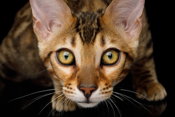 Close up Portrait of Stare Bengal Kitten on isolated on Black Background, front view