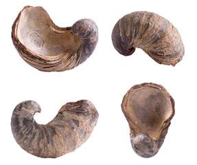 Gryphea dilatata, species of Jurassic oyster. Gryphaeidae marine bivalve mollusc