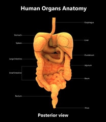 Human Digestive System Anatomy with Detailed labels (Posterior view)