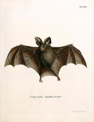 Illustration of bat