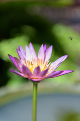 Beautiful  lotus or lily flower in pond,top view