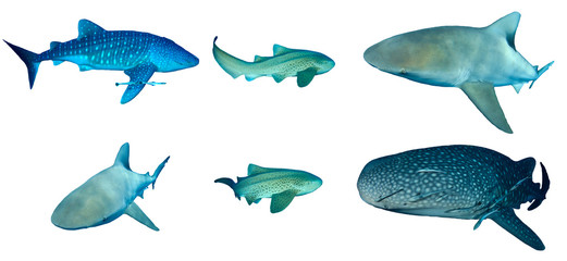Sharks isolated on white backgorund. Whale Shark, Leopard (Zebra) and Bull Sharks