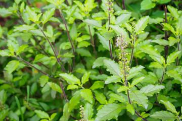 Holy basil or Sacred basil in organic garden