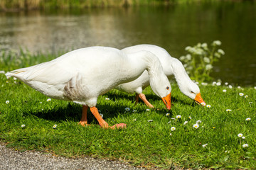 goose family walking on green grass