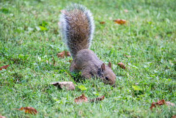Squirrel Looking in Green Grass 2