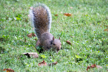 Squirrel Looking in Green Grass