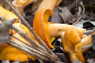 Close Up Jack O'Lantern Mushrooms 4