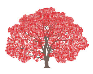 Maple tree. Isolated maple on white background