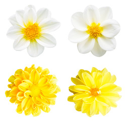 collection chrysanthemum white and yellow isolated on white background.