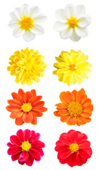 collection chrysanthemum Colorful isolated on white background.