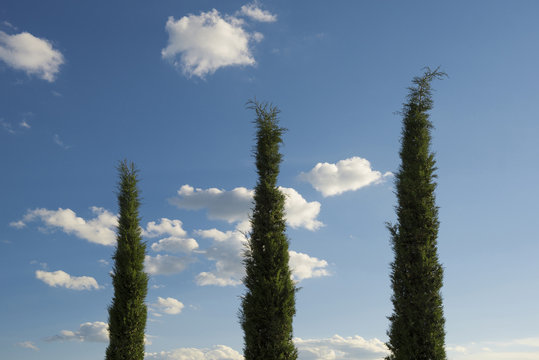 Cypress tree (Cupressus sempervirens) and blue sky, Tuscany, Italy