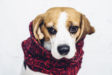 Cute dog in red woven scarf