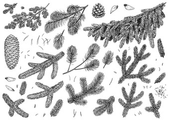 Pine branch, cone illustration, drawing, engraving, ink, line art, vector