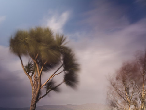 Palm tree blowing in stong winds