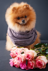 Pomeranian dog in scarf with purple roses on dark background. Portrait of a dog in a low key. Dog with flowers