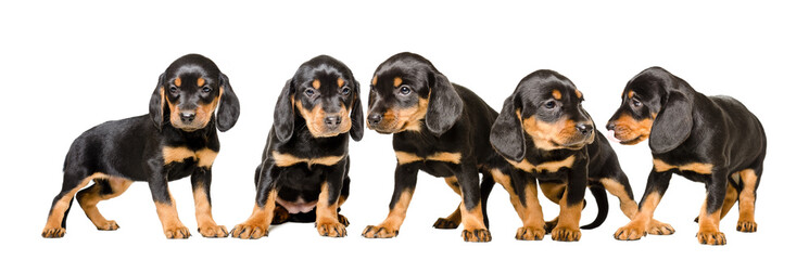 Five cute puppy  Slovakian Hund, isolated on white background