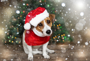A small dog jack russel terrier in a red cap siting near the Christmas tree under the falling snow and looking into the camera. Merry Christmas. Happy New Year