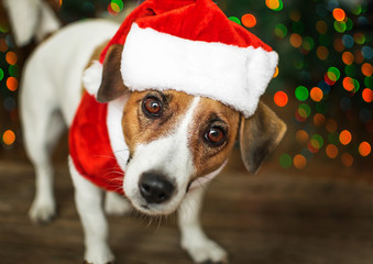 A small dog jack russel terrier in a red cap standing near the Christmas tree and looking with curiosity into the camera. Merry Christmas. Happy New Year