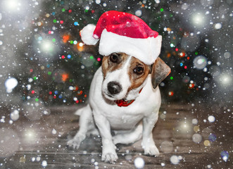 A small curious dog jack russel terrier in a red cap siting next to Christmas tree under the falling snow and looking into camera. Merry Christmas and Happy New Year card