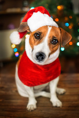 A small dog jack russel terrier in a red cap siting near the Christmas tree and looking into the camera. Merry Christmas. Happy New Year