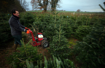 Farmer Guy French cuts down a Christmas tree in a Christmas tree field at Wick Farm in Colchester