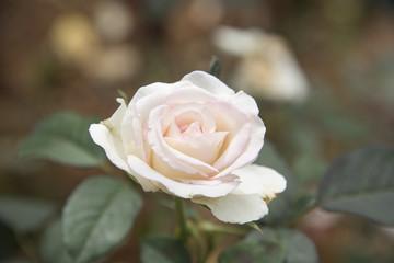 Roses, pastel