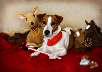 Jack Russell Dog Sitting Down with Toys Around Him and Christmas Decorations