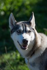 Foto auf Leinwand Hund Siberian husky dog portrait isolated on green background