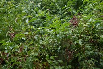 Fast reife Beeren von Schwarzem Holunder am Busch im Regen