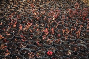 Planting seedlings in pots