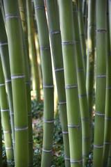 Spoed Foto op Canvas Bamboo Bambous verts en été au jardin