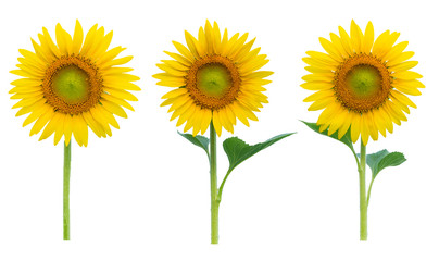 Sunflowers collection on the white background