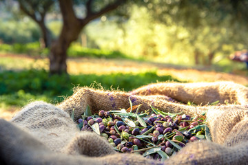 Harvested fresh olives in sacks in a field in Crete, Greece for olive oil production