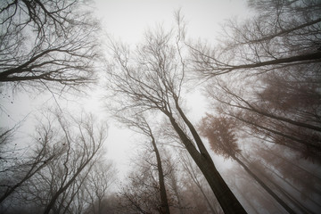 Bottom up view on trees in fog weather in deep forest, Little Carpathian, Slovakia, Europe