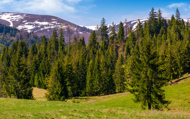 spruce forest on a grassy hill in spring. beautiful nature scenery with snowy tops of mountains in the distance