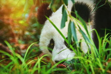 Panda in the Grass