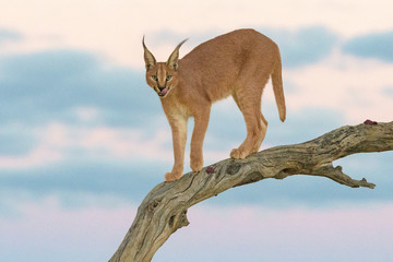 Caracal on a branch during sunset Fotoväggar