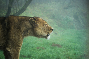 Lion roaring on a foggy and cold morning at the zoo