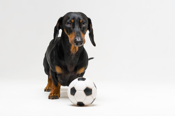 dog of breed of dachshund, black and tan, with a white soccer ball isolated on gray background