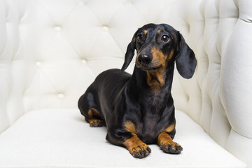 funny dog  Dachshund breed, black and tan, lies in a white armchair and looking away